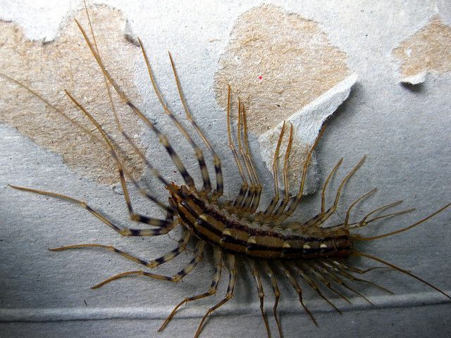 Image Credit: 'House Centipede', Photo by Scott Akerman, CC by 2.0, via flickr.