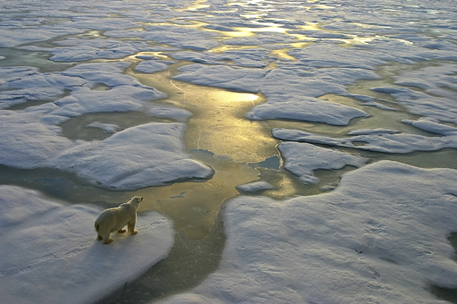A polar bear looks out over the melting ice sheets of the Arctic Ocean