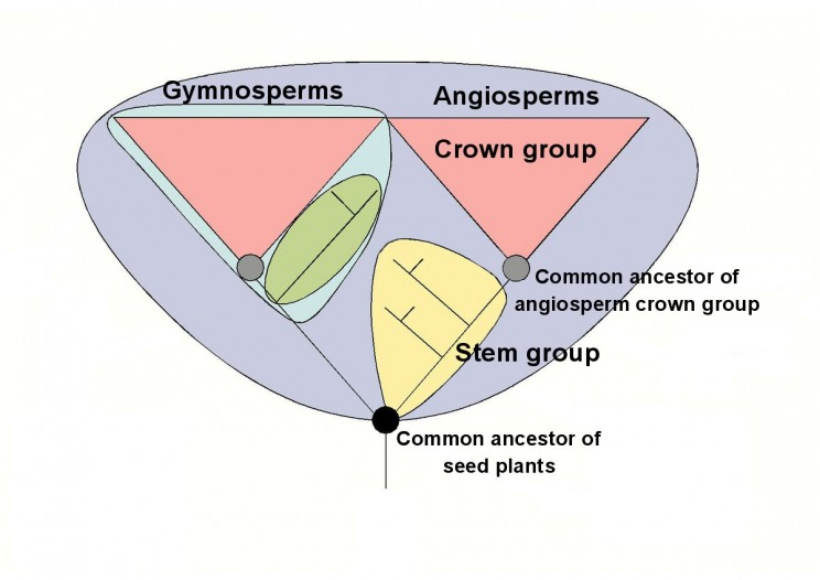 Figure 1. The angiosperm stem group consists of extinct seed plants that branched off after the common ancestor with other living gymnosperms, but before the common ancestor of the crown group of living angiosperms. Image Credit: