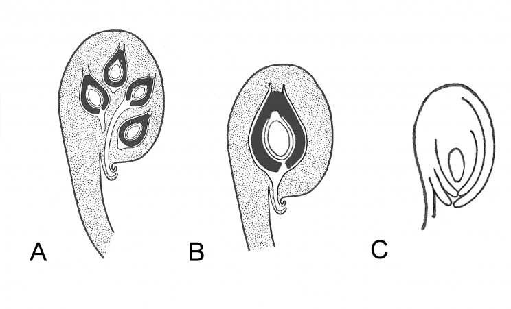 Figure 3. The bent ovule with a double integument characteristic of the angiosperms (C) may have evolved from the seed-bearing cupules of the Caytoniales (A), as the number of ovules within was reduced to one (B). Image Credit: redrawn after Brown, 1935, The Plant Kingdom, Ginn & Co., Boston and New York, with permission.