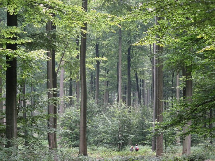 Forest in Belgium. Image Credit: Donarreiskoffer, CC BY-SA 3.0 via Wikimedia Commons.
