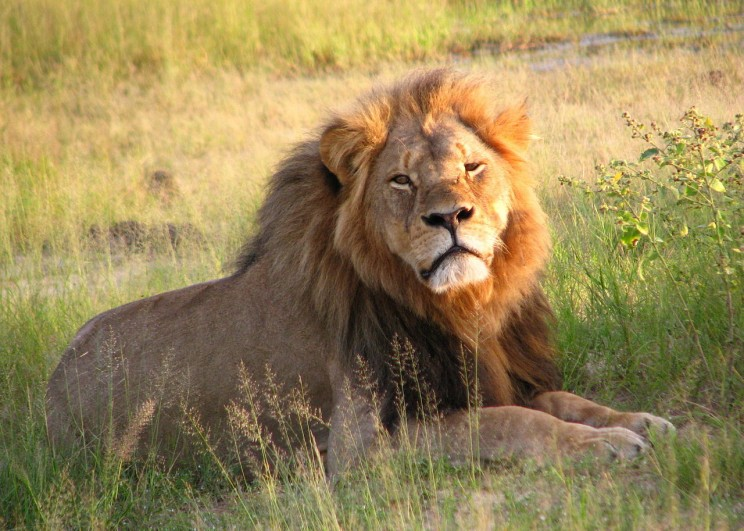 Cecil the lion died on 1 July 2015 after being lured out of a national park in Zimbabwe by a recreational big game hunter from the United States. (Cecil the lion at Hwange National Park in 2010. Photo by Daughter#3. CC BY-SA 2.0 via Flickr.
