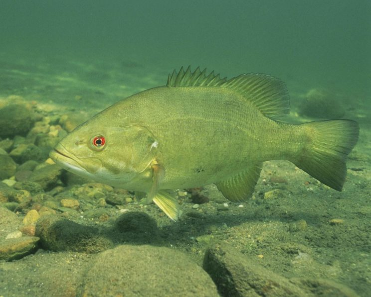 This is the fish bass. It may hide the solution of the origin of the word brash.