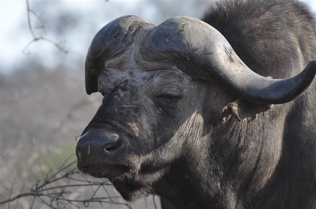 resized_5. Buffalo in the Kruger Park - Dewi Jackson