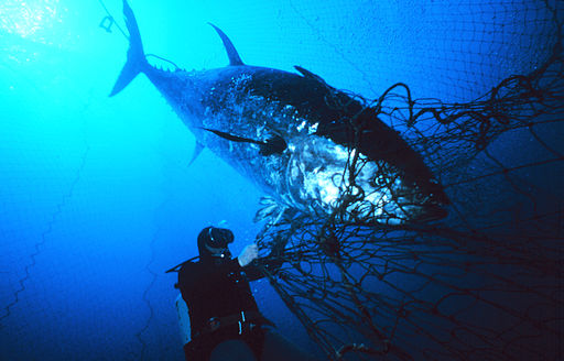 Atlantic bluefin tuna (Thunnus thynnus) ensnared near the mouth of the fish trap. Public Domain.