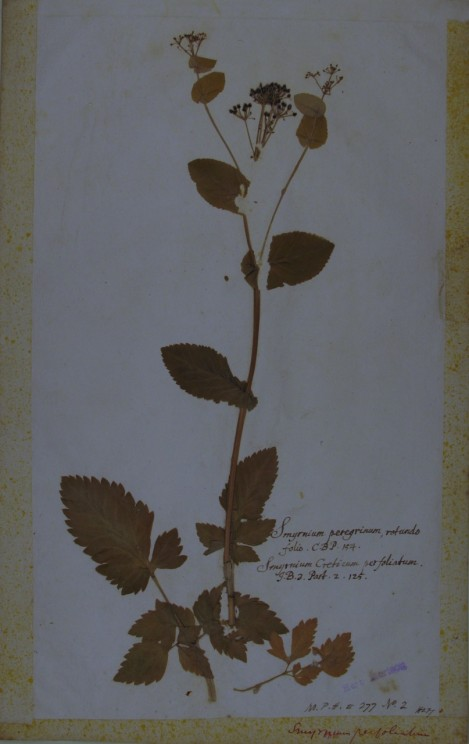 By permission of Stephen Harris, Department of Plant Sciences, Oxford: A specimen from the Morisonian Herbarium annotated by Jacob Bobart the younger