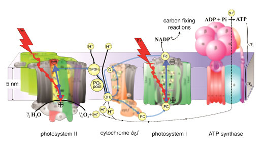 Figure 1. The photosynthetic apparatus associated with the light dependent reactions of photosynthesis is shown. The energy transfer pathways involved in photosynthesis are depicted as red arrows, electron transfer pathways as blue arrows, and the proton transfer pathways as black arrows. Image courtesy of Jon Nield adapted by Joris Snellenburg.