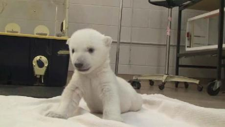 Cub's front limbs are much stronger than hind limbs. Image from Toronto Zoo video at https://www.youtube.com/watch?v=OkfEChXa2V0
