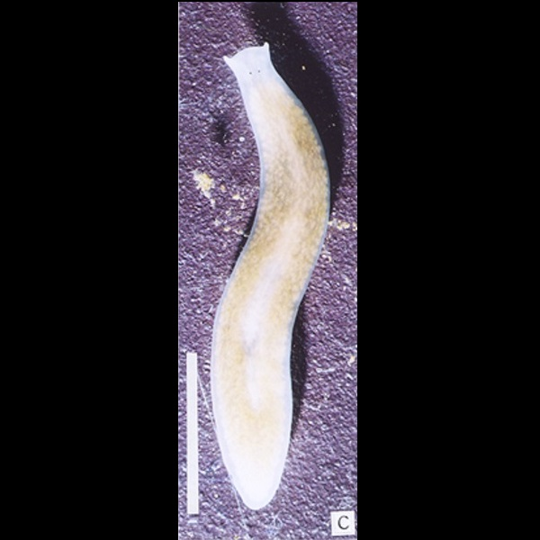 planarian behavior The planarian schmidtea mediterranea is an excellent model for  for chemical  amputation, and describe both histological and behavioral.