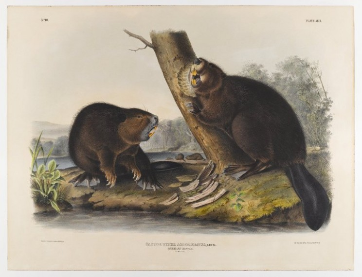 American Beaver by John James Audubon, 1844. Public domain via WikiArt.