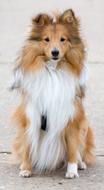 Here is a healthy, non-metathesized Sheltie. It too wishes our readers and correspondents good health and stability in the year to come.