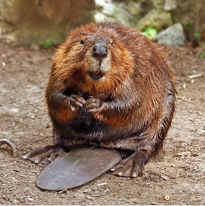 Happy Beaver. Photo by Steve. CC BY-SA 2.0 via Flickr.