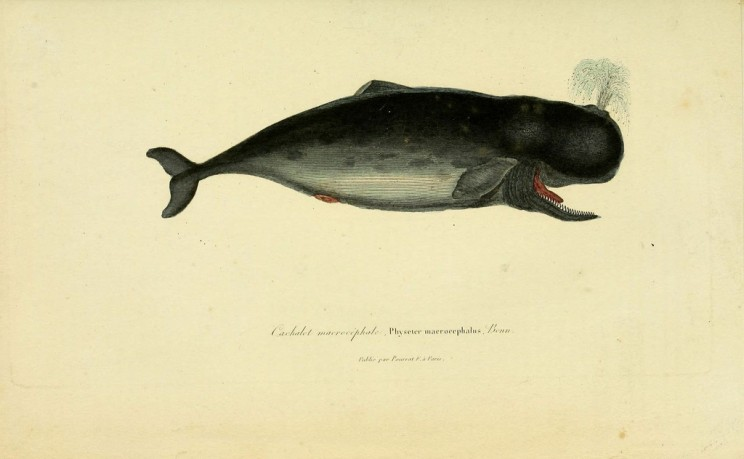 Sperm Whale. Photo by Biodiversity Heritage Library. CC BY 2.0 via Flickr.