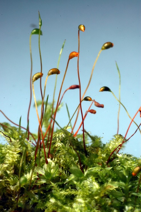 A moss colony, such as this Isopterygium, is both photosynthetic and gamete-producing. It holds water within its spongy matrix, which sustains the life of the vegetative colony and also provides a watery pathway for sperm cells in search of eggs. Because of this mode of reproduction, mosses must remain small and close to the ground. The sporangium and its stalk constitute the sporophyte generation, a separate individual resulting from the fertilization of the egg. Spores will germinate to establish new genetically mixed moss colonies. Photo by Frederick B. Essig