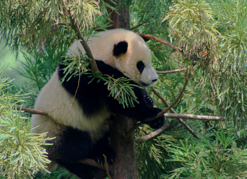 Image via Wikimedia Commons, free to use: https://commons.wikimedia.org/wiki/File:Tai_Shan,_National_Zoos_Panda_Cub_at_1_year_old_%28185094394%29.jpg