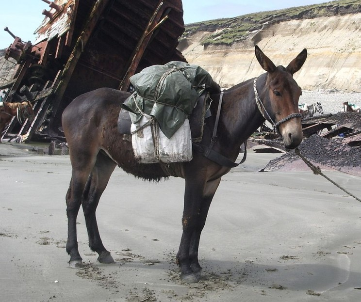 This is a mule, a most useful, even if an infertile hybrid.