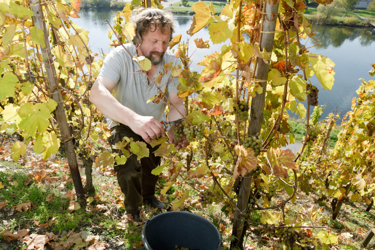 Image credit: Grape grower Clemens Busch works this steeply sloped Marienburg Vineyard despite the hazards because it's solar-panel-like shape produces riper fruit and better wines. Courtesy of Weingut Clemens Busch, Pünderich/Mosel, Germany.