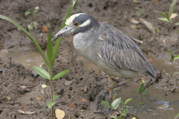 A Yellow-crowned Night Heron, of the Americas, with mud on its legs and beak in Guayaquil, SW Ecuador by Clifford B. Frith and used with permission.