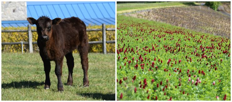 Even when a heifer is in clover, nothing follows from this fact for etymology.