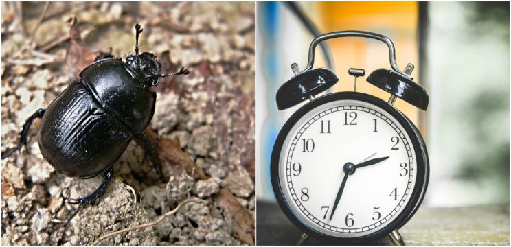 beetle-clock
