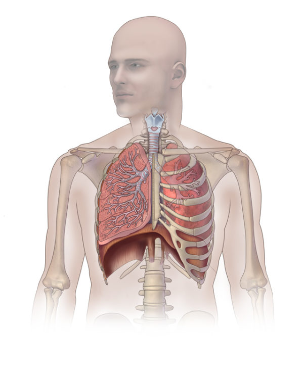 The lungs are located in the thoracic cage superiorly above the first rib and inferiorly between rib 5 and 7 with the diaphragm muscle situated below the lungs. Photo by Caitlin Duckwall.