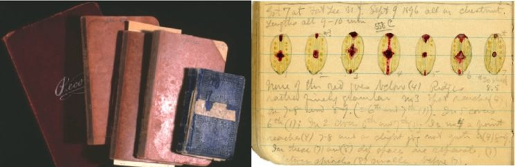 "Some of Dyar's field rearing notebooks, including the tiny, original ""blue book"" and unpublished illustrations showing the variation in a species of button slug caterpillar found on chestnut"