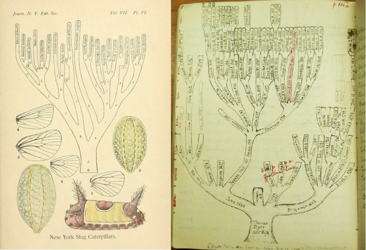 Dyar's genealogies: New York Slug Caterpillars (left, by the New York Entomological Society and used with permission) and the Dyar family (right, by the Library of Congress and used with permission).