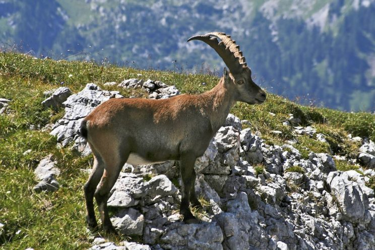 An ibex. The horns are wonderful but have probably nothing to do with the origin of the word ivy.
