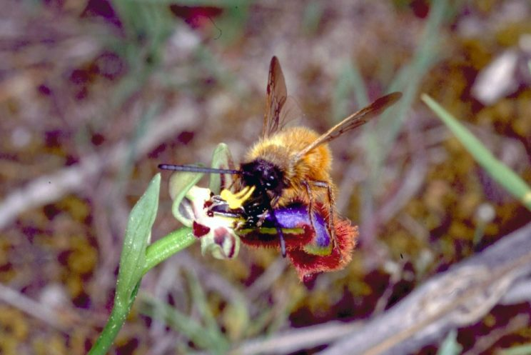 Ophrys speculum. Image provided by the authors and reused with their permission.