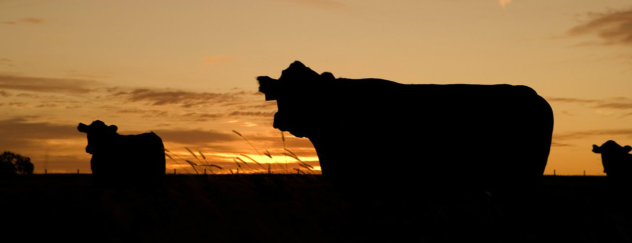 cattle-640985_1260