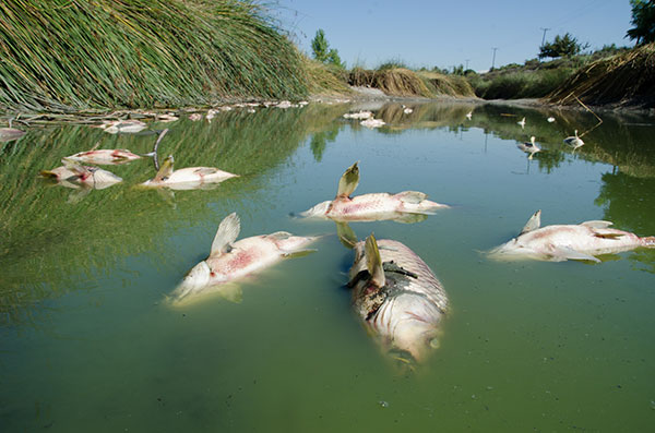 Dead fish (carp) float to the surface of the water in this polluted channel.